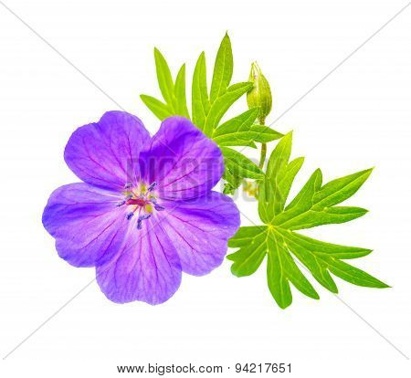 Closeup Of Beautiful Blooming Purple Bloody Crane's-bill  Geranium Flower With Green Leaves Is Isola