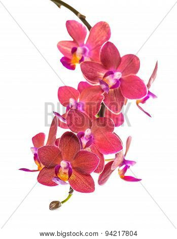 Blooming Twig Of Beautiful Red Orchid, Phalaenopsis Is Isolated On White Background, Closeup