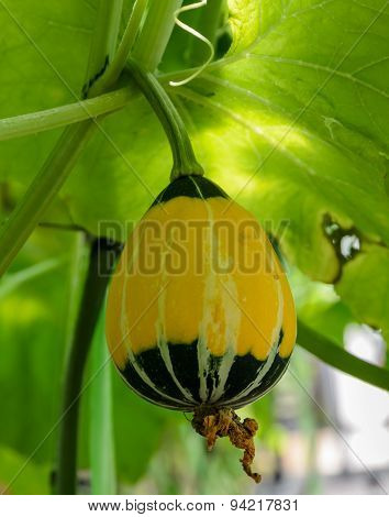 Ornamental Gourd Or Pumpkin On Its Tree