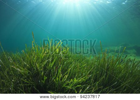 Green Sea Grass Underwater and Sunlight