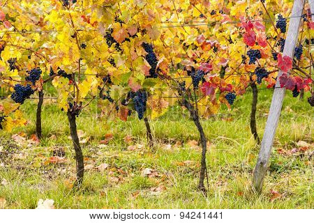 blue grapes in vineyard near Palava, Southern Moravia, Czech Republic