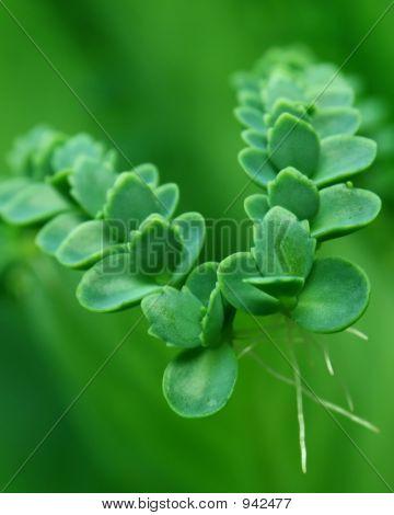 Lifeplant - Bryophyllum