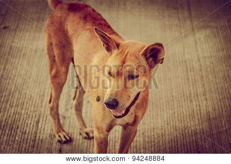 Brown Thai Homeless Dog On Vintage Retro Tone