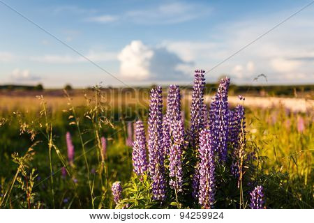 Violet Lupine Flowers