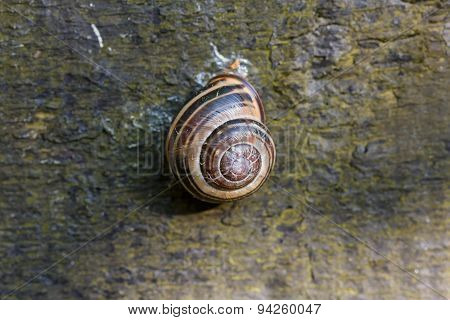 One brown snail shel