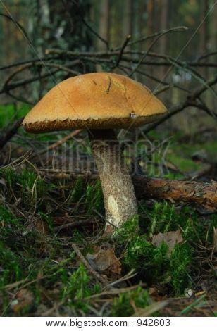 Mushroom(Leccinum Scabrum)