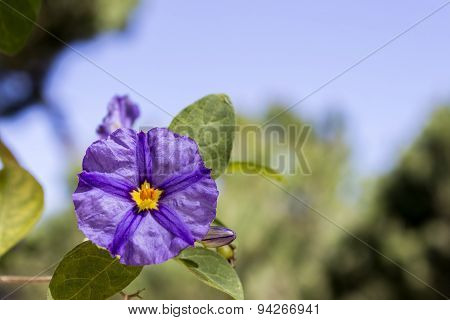 Solanum Rantonnetii (species: Lycianthes Rantonnetii), Flowering Plant In The Family Solanaceae.