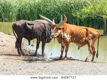 Watusi Bull photographed in Safari World in Bangkok