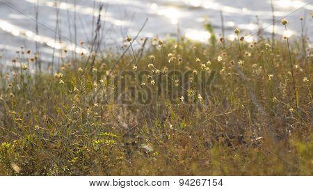 Dried Grass. Cotton Grass or Cottensedge. Eriophorum.