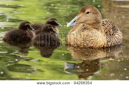 Common Eiders - Somateria Mollissima