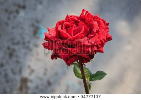 Nice alone red rose in morning dew