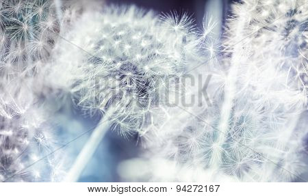 Dandelion Flowers With Fluff, Colorful Abstract