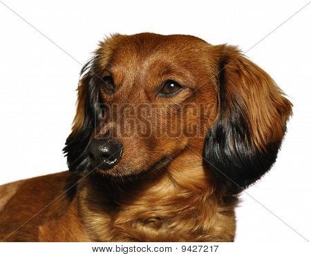 Red Long-haired Dachshund