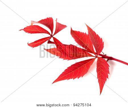 Red Autumn Twig Of Grapes Leaves (parthenocissus Quinquefolia Foliage)