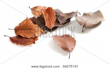Autumn Dry Magnolia Leaves On White Background