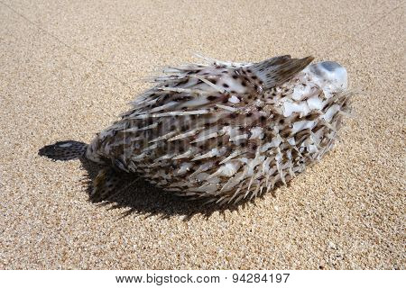Hawaiian Spotted Pufferfish Aka Toad Fish Washed Up On A Beach