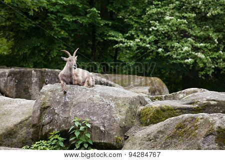 Alpine Ibex Lies On A Stone