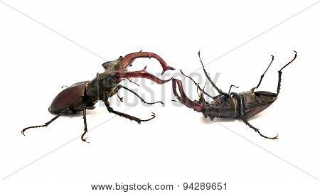 Fighting Stag Beetles