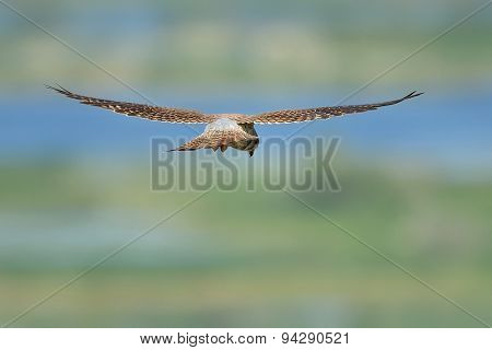 Common Kestrel  flying over fields  (falco tinnunculus)