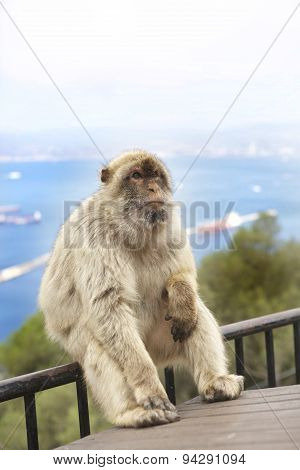 Large Barberry Monkey sitting on a railing