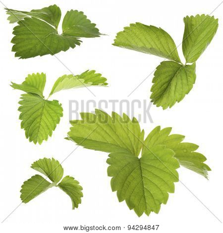 Strawberry leaves, isolated on white