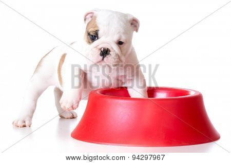 hungry puppy - bulldog standing inside a dog food dish on white background