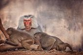 stock photo of male-domination  - Male and two female baboons in the zoo in Mysore, India ** Note: Visible grain at 100%, best at smaller sizes - JPG