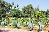 picture of vegetation  - marrakech city morocco El Harti garden vegetation detail - JPG
