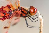 picture of dragonflies  - Side View of a Large Red Dragonfly