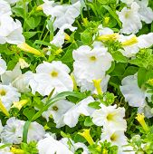 pic of petunia  - beautiful blooming white petunia flowers background closeup - JPG