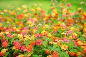 foto of lantana  - beautiful blooming Lantana camara blur flowers background closeup - JPG