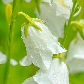 foto of harebell  - closeup white hand bell flower with rain drops on a green blur background closeup - JPG