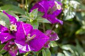 pic of plant species  - Bougainvillea spectabilis flower detail - JPG