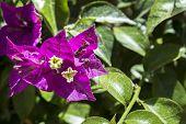 foto of plant species  - Bougainvillea spectabilis flower detail - JPG