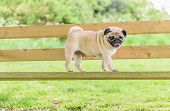 pic of pug  - A Cute female pug at a photo session in a park.