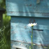 picture of bee-hive  - Camomile in focus bee hive in the blurred background outdoor square shot - JPG