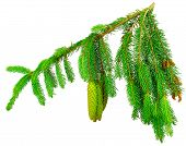 foto of pine cone  - The branch of spruce and pine cone on white background - JPG