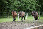 foto of brown horse  - three brown Holsteiner Warmblood horses running on a pasture - JPG