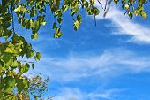 stock photo of birching  - Birch leaves against bright blue sky - JPG