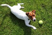 foto of jack russell terrier  - The dog breed Jack Russell terrier on the green grass on a sunny day - JPG