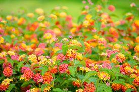 stock photo of lantana  - beautiful blooming Lantana camara blur flowers background closeup - JPG