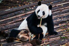 pic of panda  - one giant Panda bear eating bamboo roots in Bifengxia base reserve Sichuan China - JPG