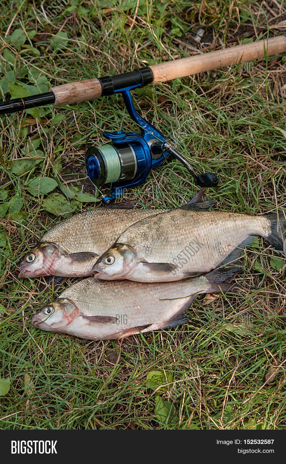 Freshwater fish bream - Several Common Bream Fish On The Natural Background Catching Freshwater Fish And Fishing Rod With