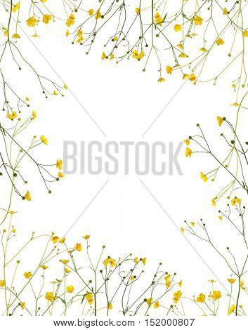 group of wild golden buttercup flowers isolated on white background