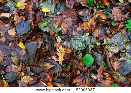 Background of bright juicy colorful autumn leaves closeup top view
