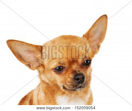 Red chihuahua dog isolated on white background.