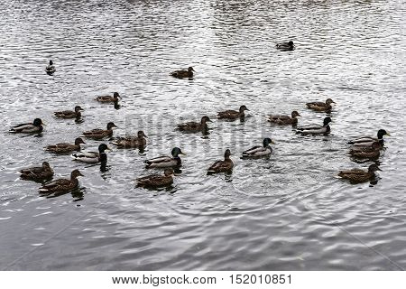 Flock of wild ducks on the pond cloudy cold autumn day