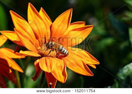 Most bee collects nectar on a flower and pollinate the plant.