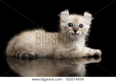 Furry Beige American Curl Kitten with Twisted Ears Lying on Isolated Black Background with Reflection, Side view