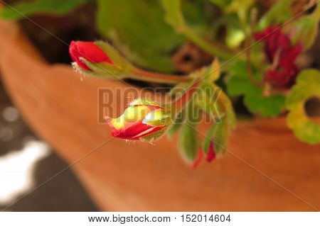 Red geranium flower bud in sunlight in a terracotta garden pot